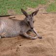 オーストラリアの動物1