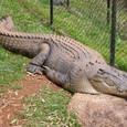 オーストラリアの動物3 クロコダイル