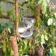 オーストラリアの動物4 コアラ