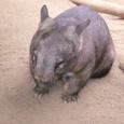 オーストラリアの動物5 ウォンバット